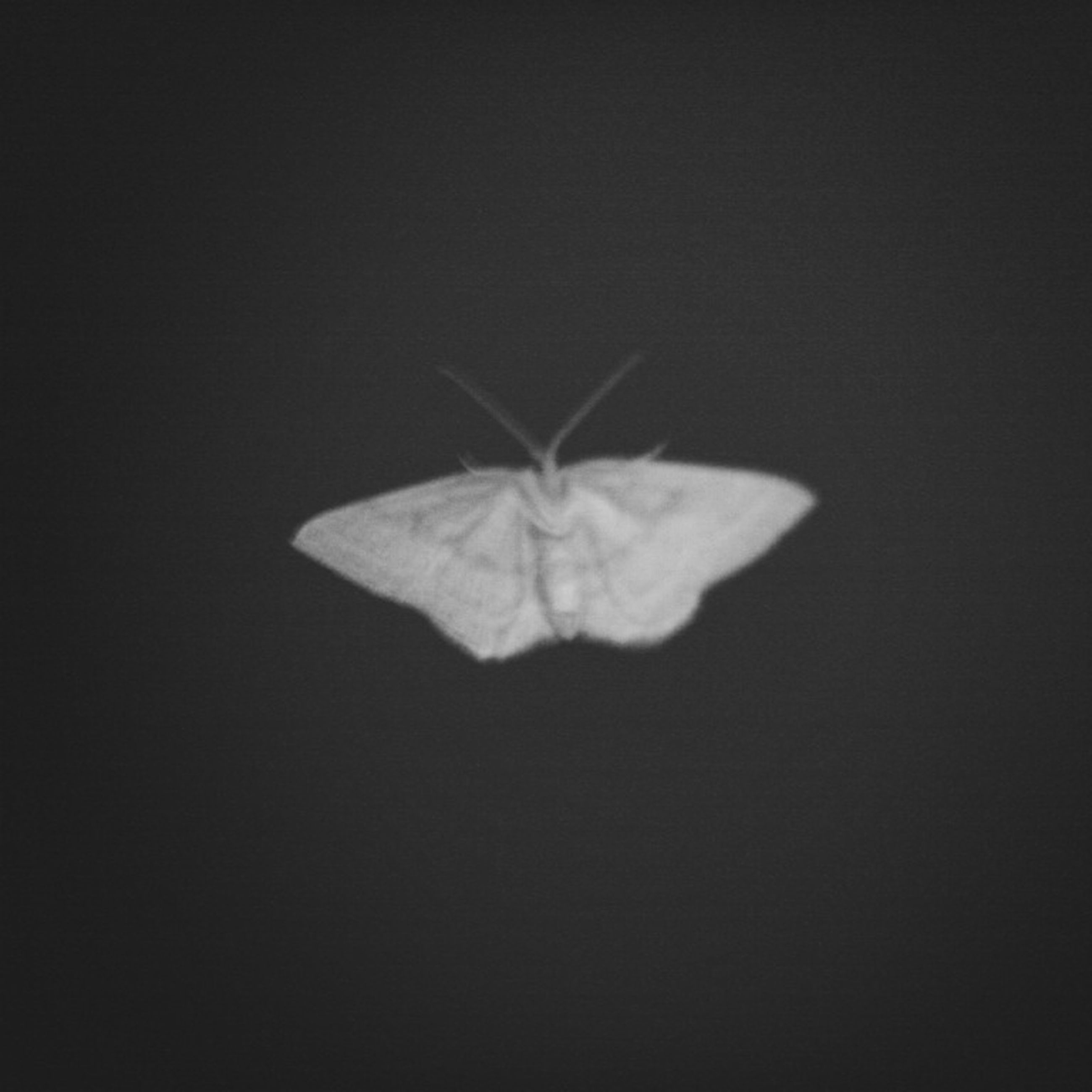 one animal, insect, animal themes, animals in the wild, wildlife, studio shot, copy space, close-up, black background, nature, full length, dragonfly, animal wing, no people, animal antenna, vignette, butterfly, night, cut out, fragility
