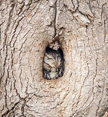 Eastern Screech Owl in his roost Nature Photography Nature Minnesota Nature Minnesota Animals Owls Owl Eastern Screech Owl Screech Owl