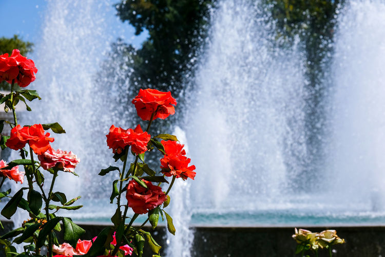 Close-up of red flowering plant against fountain