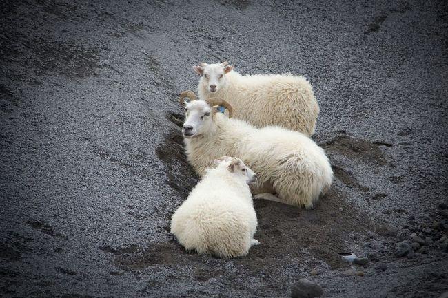 Three Iceland Goats Volcanic