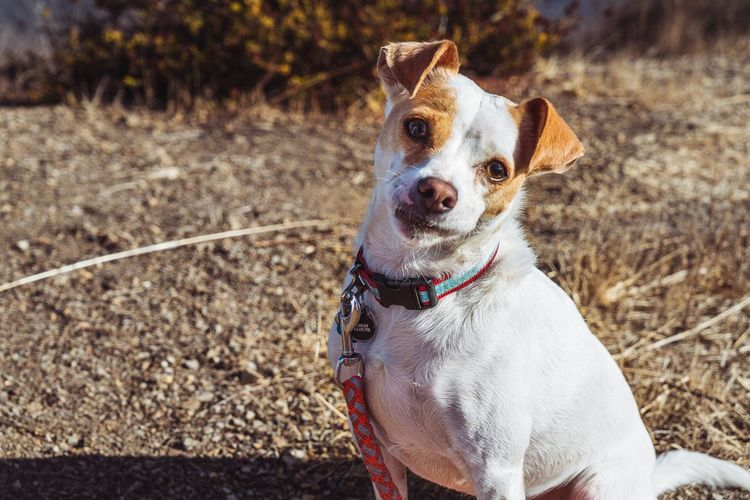 Dog Pets Animal Themes Domestic Animals One Animal Pet Collar Mammal Portrait Outdoors Looking At Camera Day Sitting No People Beagle Close-up Terrier Hike Cute Small