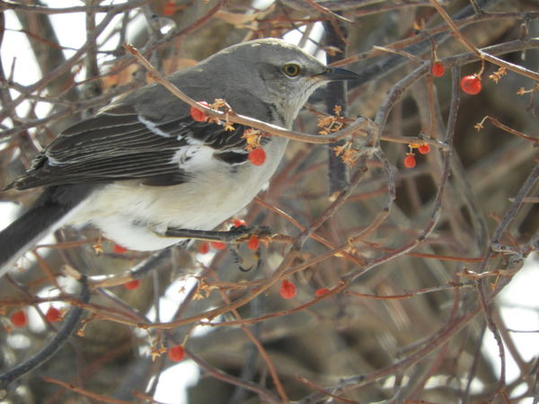Mockingbird Mockingbird In A Tree Bird Photography Nature Photography Beauty In Nature Winter In Massachsetts Animal Themes Bird Animal Wildlife Winter Tree Animals In The Wild Nature Eating One Animal Perching No People Branch Close-up Outdoors