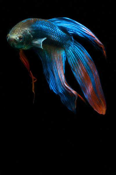 Aquarium Beauty In Nature Betta  Betta Fish Betta Lovers Bettafish Bettafishcommunity Bettasiamesefish Bettatank Black Background Close-up Fish