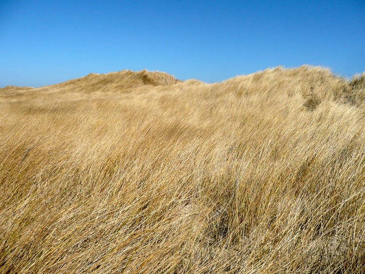 Beauty In Nature Blue Clear Blue Sky Clear Sky Copy Space Grass Covered Dunes Grasses In Wind Growth Holidays Landscape Nature No People Outdoors Scenics Sky Tranquility Windblown Grass