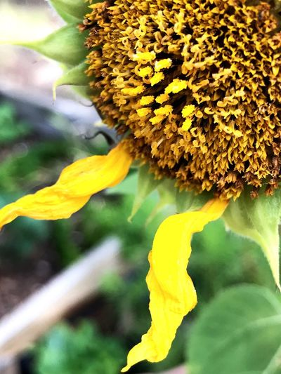 2 pedals Flower Yellow Fragility Growth Freshness Nature Petal Beauty In Nature Flower Head Plant Sunflower Outdoors Close-up Day Blooming