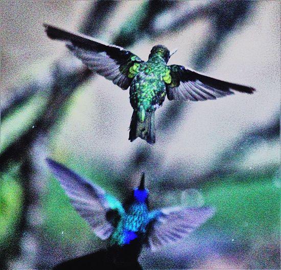 Animal Themes Hummingbird Nature Photography