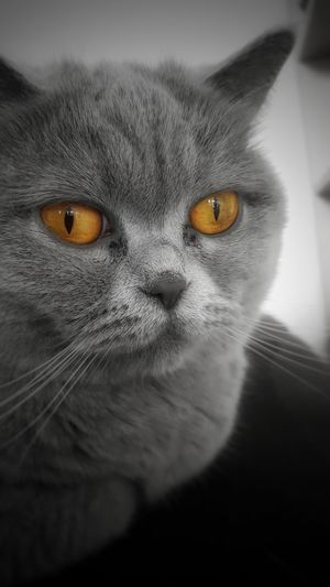 My sisters cat! Nice amber colored eyes. One Animal Animal Themes Domestic Cat Yellow Eyes Domestic Animals Pets Close-up Animal Eye No People BrianArlt Mobile Photography Amber Black & White