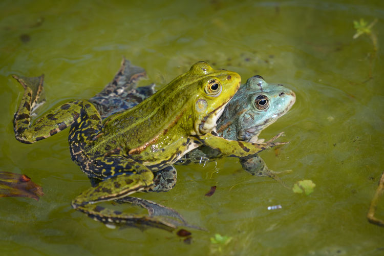 High angle view of frog mating and swimming in lake