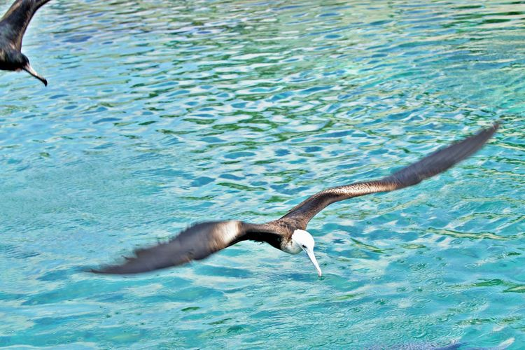 Water Animal Themes Animals In The Wild Animal Wildlife One Animal Animal Sea Nature Bird Flying No People Outdoors Spread Wings Waterfront Day Fregate Birds