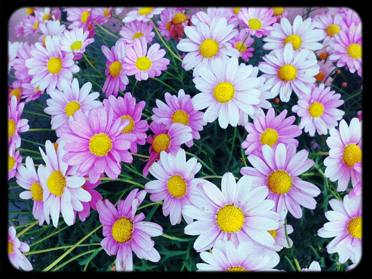 Full Frame Shot Of Daisy Flowers Blooming In Field