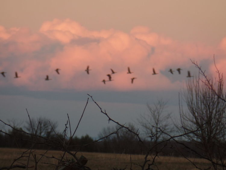 Geese In Flight Geese In Nature Cold TemperatureFinding New Frontiers Cloud - Sky Dramatic Sky Sunlight Tranquil Scene Beauty In Nature Outdoors Scenics No People Traveling Home For The Holidays Animals Millennial Pink Autumn Mood