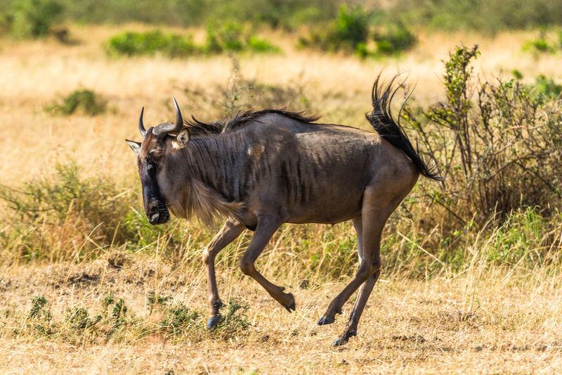 Wildebeest on field