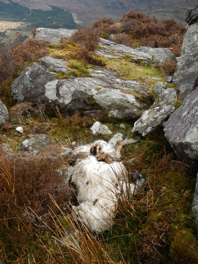 Animals In The Wild Dead Animal Fallen In The Mountains One Animal Outdoors Sheep
