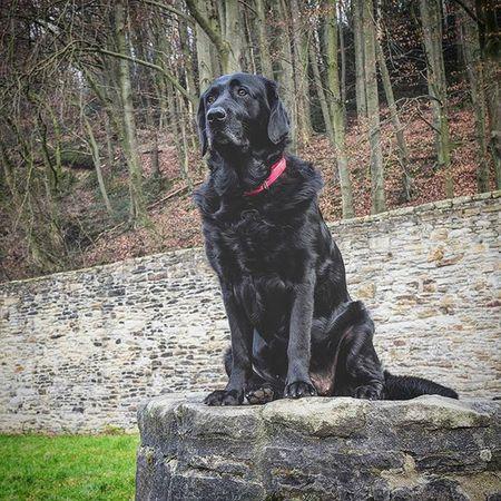 Labbi Labrador Blacklab Labby Blacklabrador Hund Dogsofinstagram Dogs Dog Olympus EM1 Abbey Majestic