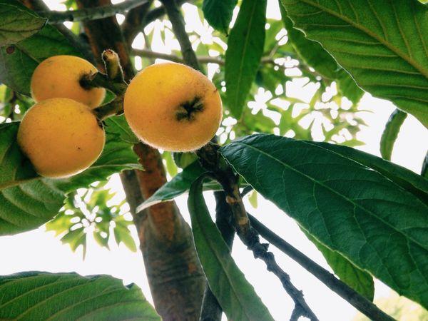 枇杷熟了。 Tree Loquat