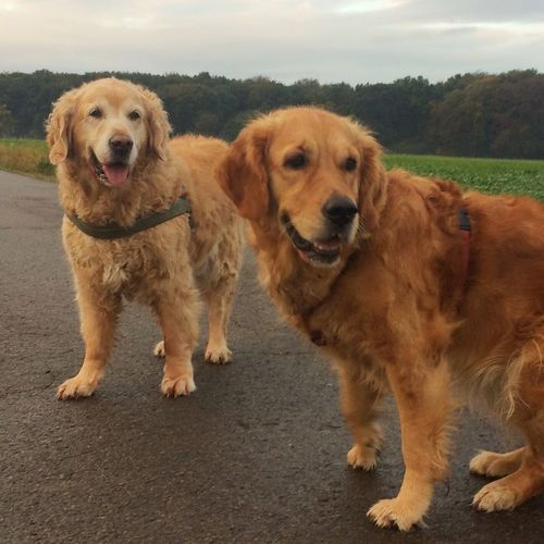 Early in the Morning:,Bruno & Greta Dog Dogs Dog Love Dog❤ Dogslife Dogs Of EyeEm I Love My Dog Dog Walking Golden Retriever Goldenretriever