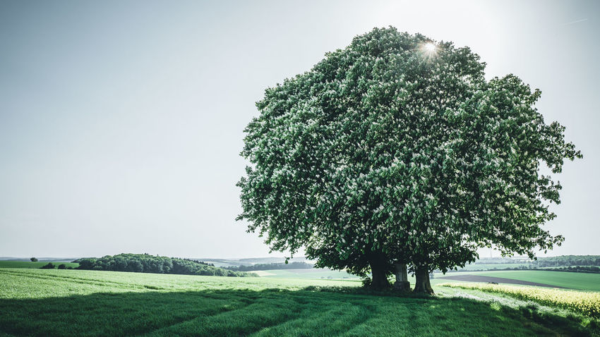 Two Chestnut Trees Ilmspan Kastanien Landschaft Ruhe Und Stille Beauty In Nature Chestnut Tree Environment Field Green Color Growth Landscape Natur Nature No People Outdoors Scenics - Nature Sky Tranquil Scene Tranquility Tree