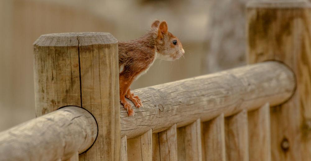 Rodent Animal