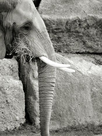 Schönbrunn Zoo Elephant Black And White B&w Zoo Animal Monochrome Photography