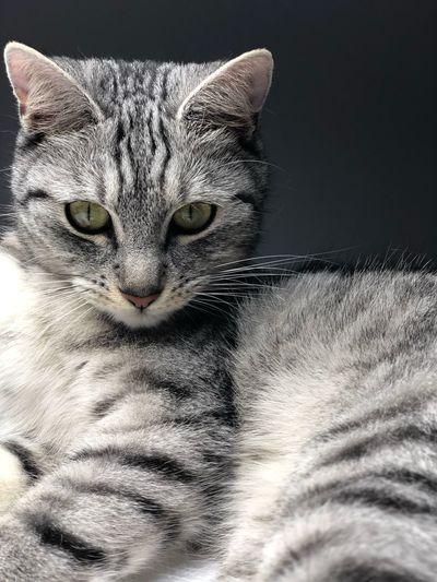 Silver cat Cat