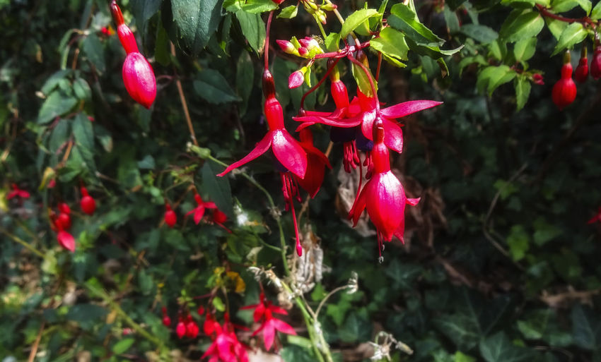 Fuchsias Fuchsias Fuchsia Flower Fuchsia Pink Flower, RedFlower Nature Petals Flowers England Red Hanging Branch Leaf Close-up