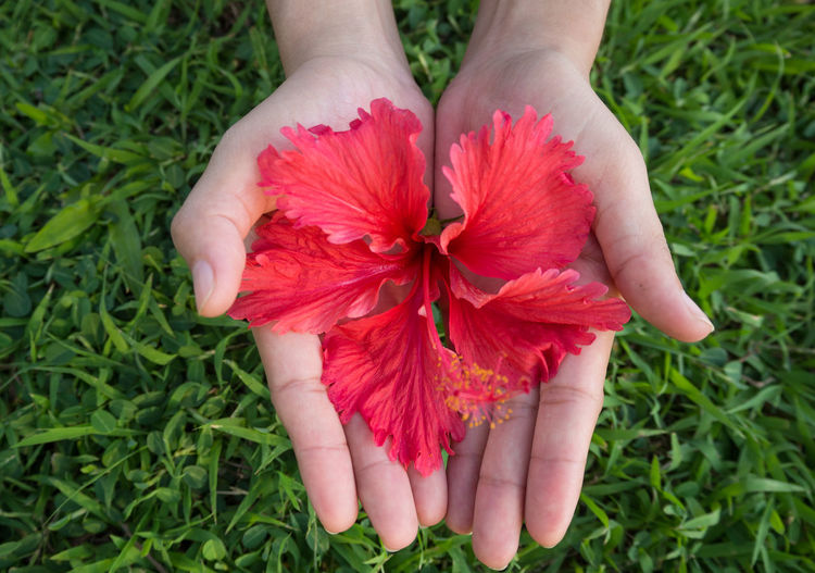 Close-up of hands holding red flower on grassy field