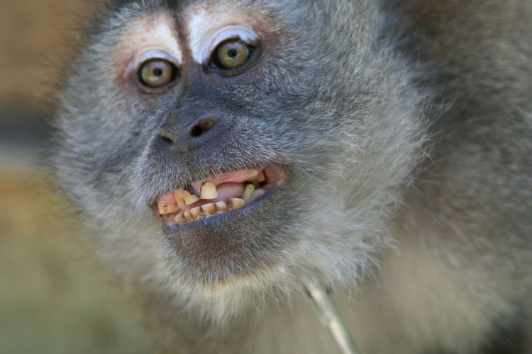 Close-up portrait of a monkey