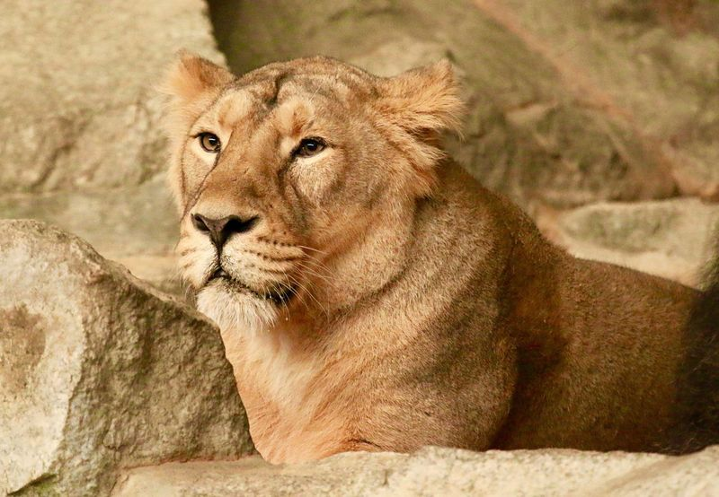 Lion Lions Loewe Animals Animal Nature Photography Nature_collection EyeEm Gallery EyeEm Best Shots EyeEm Nature Lover Showcase: February Tierpark Berlin