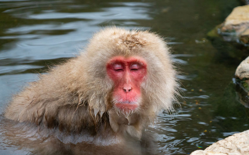 Japanese Macaque Water Animal Wildlife Animal Themes Animals In The Wild Animal Monkey Primate Lake One Animal Mammal Vertebrate Day Animal Hair Nature No People Hair Swimming Outdoors Hot Spring Animal Head
