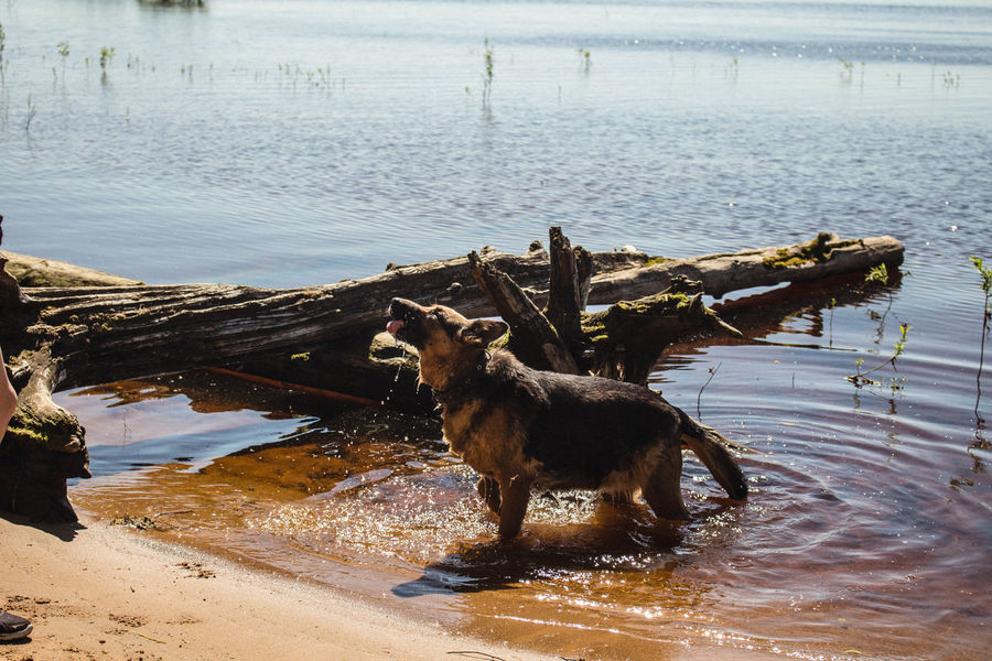 Animal Themes Beauty In Nature Day Dog Domestic Animals Drop Drops Of Water EyeEm Nature Lover EyeEmNewHere German Shepherd Landscape Life Nature Pets Ripples Ripples In The Water River Shake Sunbeam Sunlight Travel Water Water Reflections Waterfront Wave