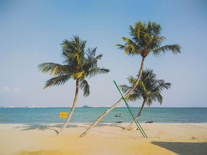Coconut tree in