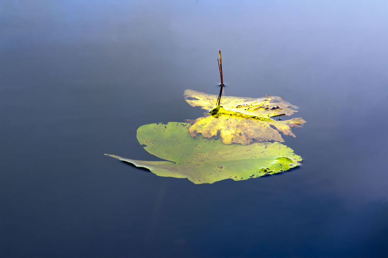 Close-up of yellow leaf floating on water