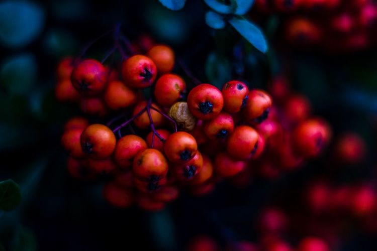 Winter Floral Colour Fruit Food Berry Fruit Red Close-up Freshness Focus On Foreground No People Plant Growth Day Nature Rowanberry Selective Focus Beauty In Nature Outdoors Tree
