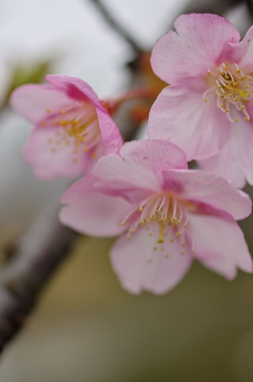 flower, pink color, petal, beauty in nature, nature, fragility, blossom, growth, selective focus, flower head, freshness, no people, close-up, stamen, springtime, plant, blooming, branch, outdoors, day