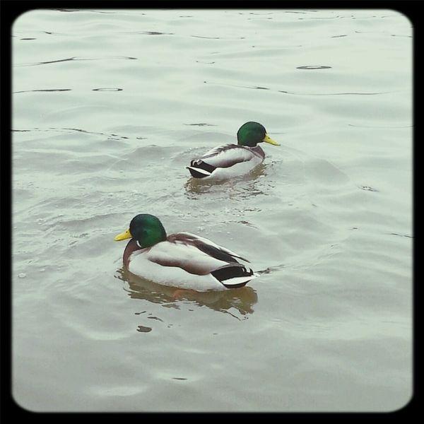 Mallard Lake Ducks Birds