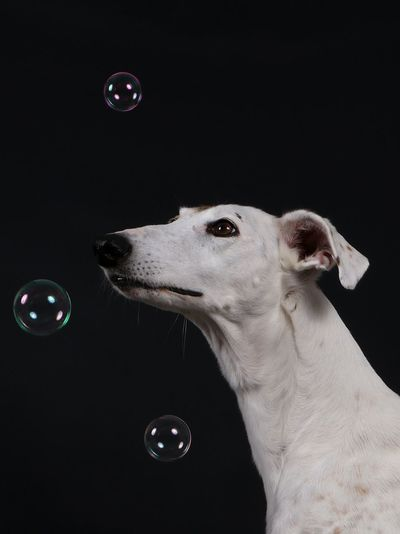 beautiful galgo is sitting in the studio and looking up to flying bubbles Bubbles Español Galgo Galgo Español. HEAD Spanish Animal Themes Black Background Black Color Close-up Dog Domestic Animals Galgo Espanol Galgoespañol Greyhound Headshot Mammal No People One Animal Pets Portrait Sighthound Studio Shot Windhund