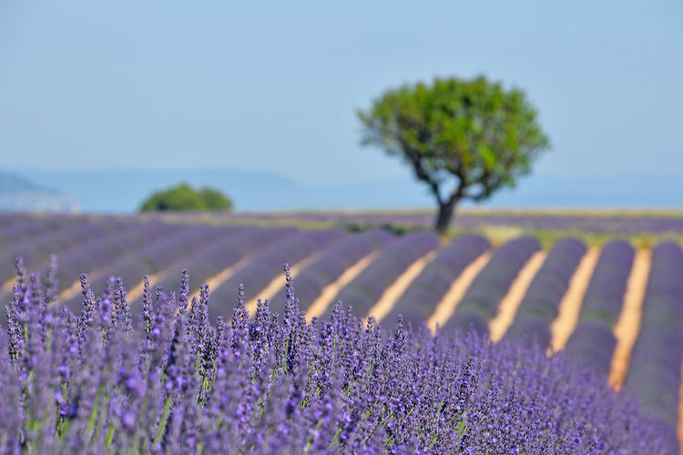 Lavender field perspective Flowering Plant Growth Purple Flower Plant Landscape Nature Lavender Rural Scene Freshness Field Agriculture Lavender Colored Selective Focus Environment No People Outdoors Flower Head Land Beauty In Nature Lavender Field Blooming Blossom Season  Tree 17.62°