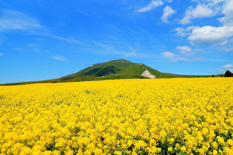 Yellow rapeseed plantation Agriculture Beauty In Nature Blue Day Field Flower Freshness Growth Landscape Mountain Nature No People Oilseed Rape Outdoors Pilis Pilisszántó Rural Scene Scenics Sky Summer Tranquil Scene Tranquility Yellow