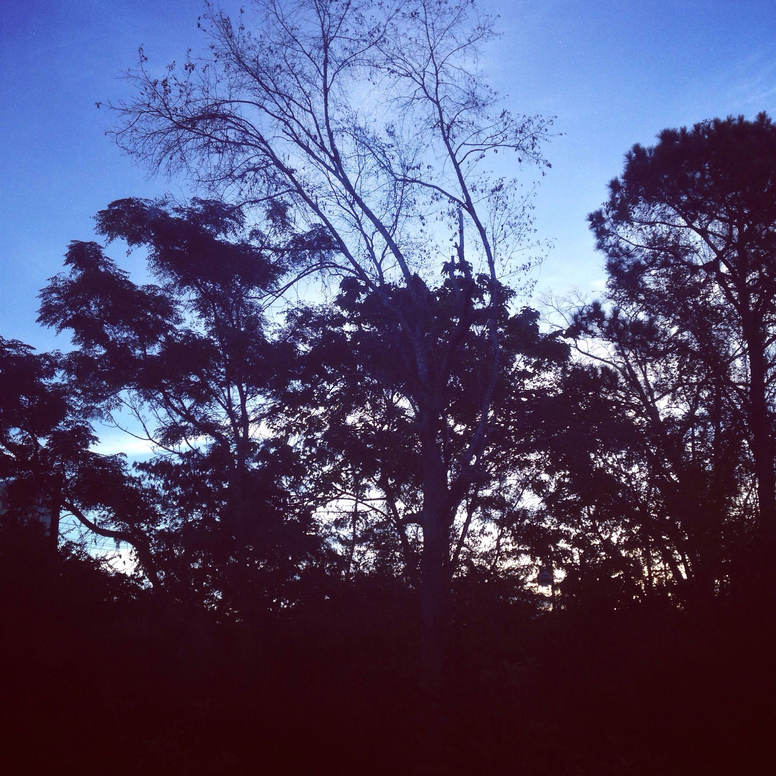tree, silhouette, branch, tranquility, low angle view, bare tree, growth, beauty in nature, nature, sky, tranquil scene, scenics, clear sky, blue, outdoors, no people, dusk, idyllic, forest, tree trunk