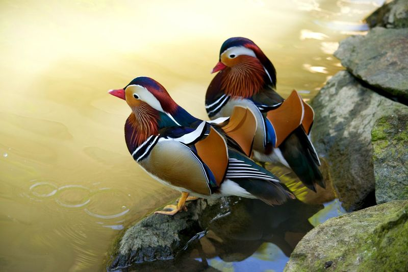 Mandarin Duck Bird Duck Multi Colored Animal Wildlife Water Nature Animal Themes Animals In The Wild Beauty In Nature No People Canard Mandarin Riviere Zoo Zoophotography Zoo De Beauval Canards