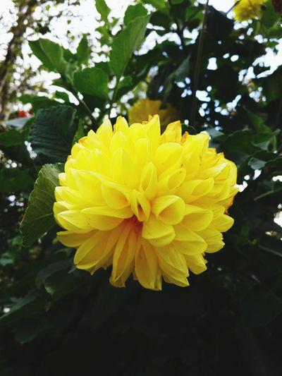 Yeşil Doğa Sarıpapatya çiçek Sarıçiçekler Dağ Doğa Botanik Natural Photo Photographer Papatyalar Papatyam Flora Meyve Papatya Bogurtlen Photoshop Sari Yapraklı Flower Head Flower Yellow Petal Leaf Close-up Blooming Plant