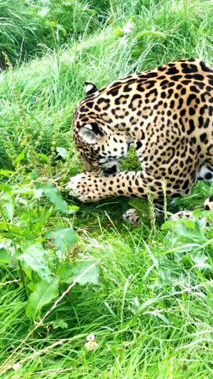 Big Cats Leopard Photo