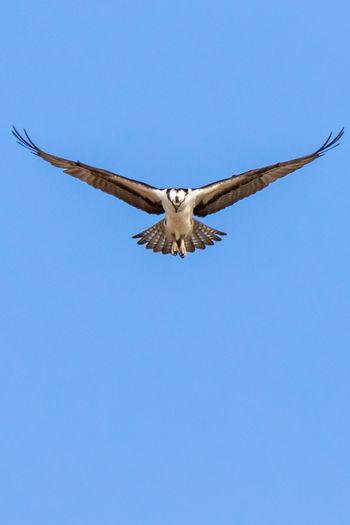 Flying Clear Sky Spread Wings Blue Sky Animal Themes Animal Animal Wildlife One Animal Animals In The Wild Animal Body Part Bird Nature Low Angle View Vertebrate No People Day Mid-air Copy Space Animal Wing Directly Below Osprey