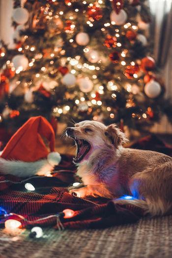 Dog yawning in front of illuminated christmas tree