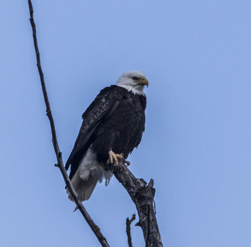 Bald Eagle Bald Eagle Portrait America Animal Animal Themes Animal Wildlife Animals In The Wild Bird Bird Of Prey Branch Clear Sky Copy Space Day Eagle Low Angle View Nature No People One Animal Oregon Coast Outdoors Perching Plant Sky Tree Vertebrate