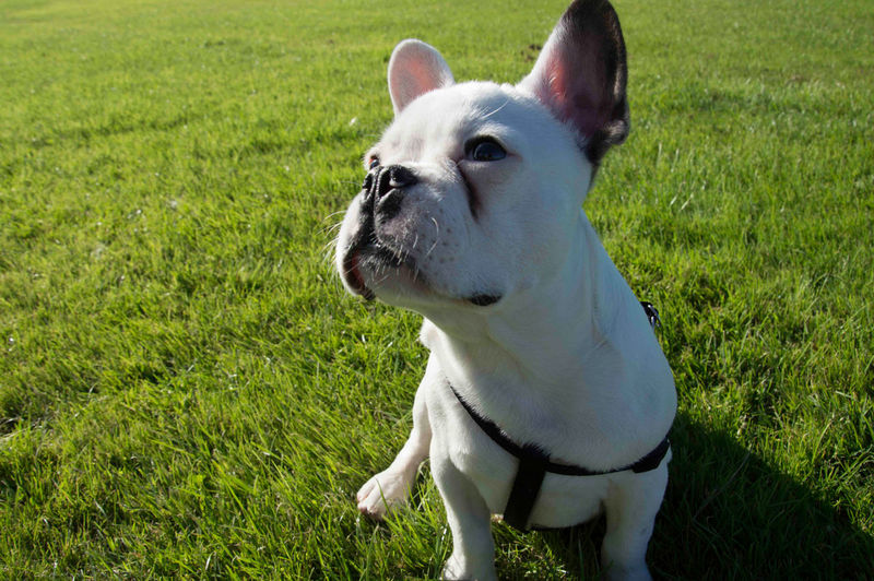 EyeEmNewHere Animal Themes Close-up Day Dog Domestic Animals Field French Bulldog Grass Green Color Mammal Nature No People One Animal Outdoors Pets Sitting