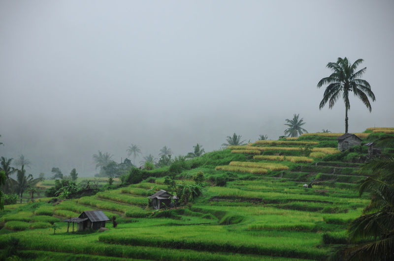 morning green Plant Field Agriculture Tree Land Rice - Cereal Plant Growth Palm Tree Rice Paddy Farm Landscape Rural Scene Fog Environment Tropical Climate Scenics - Nature Tranquil Scene Nature Beauty In Nature No People Outdoors Coconut Palm Tree Plantation Green Mornings Morning