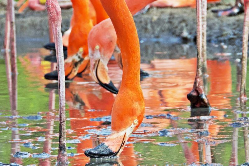 Water Orange Color Animal Animal Themes Vertebrate Animal Wildlife No People Focus On Foreground Animals In The Wild Waterfront Outdoors Reflection Lake Drinking Close-up Flamingos Flamingos In Water