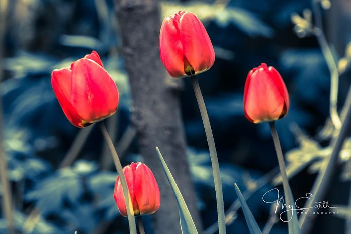 Flower Growth Petal Plant Beauty In Nature Nature Freshness Red Fragility No People Blooming Tulip Close-up Focus On Foreground Outdoors Day Poppy Springtime