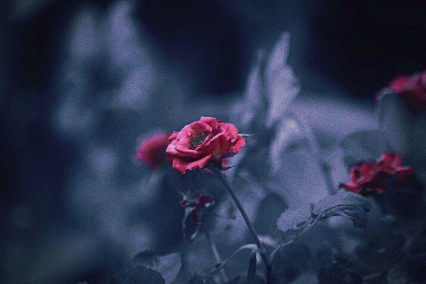 แต่งแต้มจินตนาการแห่งวัยฝัน ( Imagine the dream of imagination )... 🌹19/07/2017 Flower Red Petal Nature Outdoors Marco Photography Rose - Flower Rose🌹 Rose Garden